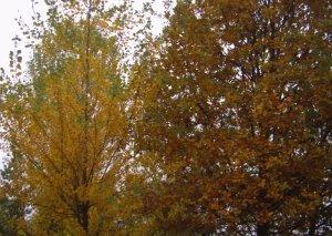 pioppo e quercia con foglie ingiallite