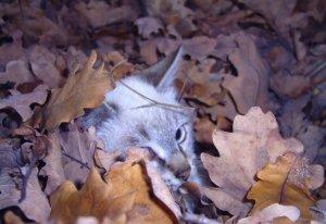 gatto nascosto nelle foglie di quercia