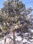pini ricoperti di brina in inverno