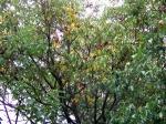 noce con le foglie rovinate dal caldo e dalla siccità