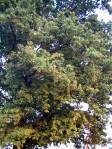 chima di vecchia quercia