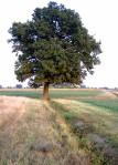 quercia solitaria nei campi dell'emilia