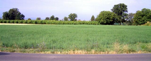 medicago sativa / alfalfa / erba medica in coltivazione