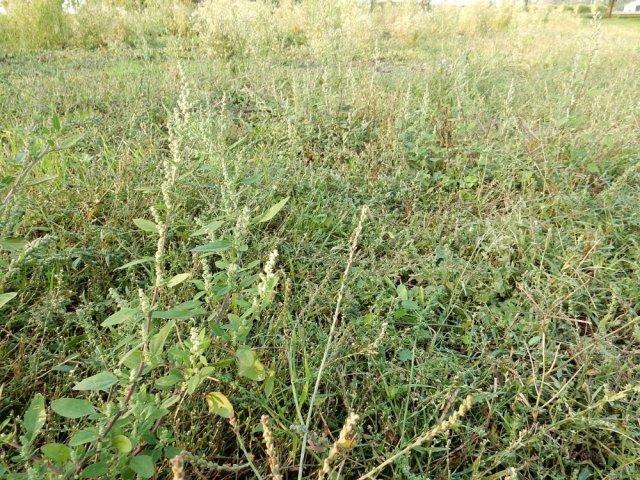 erbe infestanti, trattamenti erbicidi, rotazione