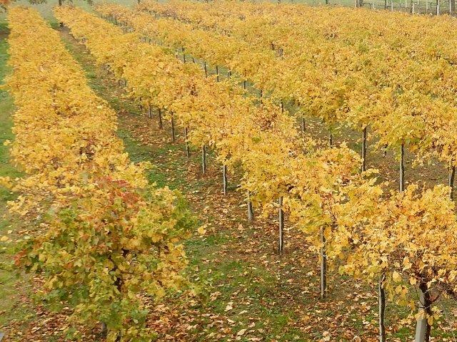 la vigna di pignoletto, le foglie gialle come oro, autunno nei campi