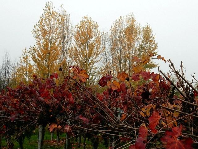 vigna lambrusco, foglie rosse e scure, pioppi, autunno