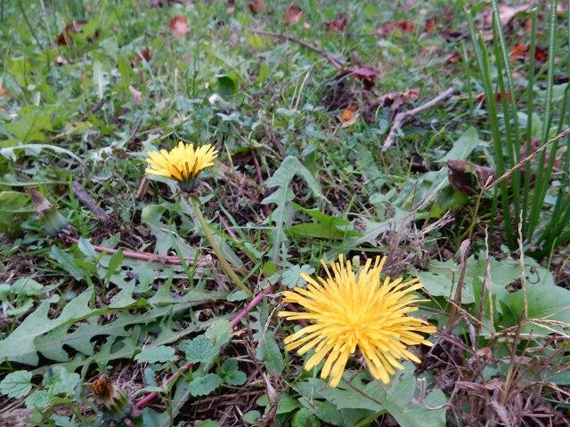 tarassaco in fiore nei prati a novembre