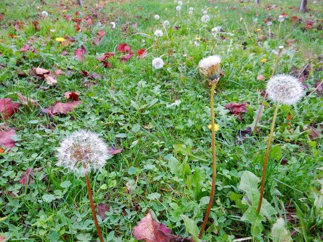 soffioni del tarassaco, semi, autunno, modena, bologna, campagna