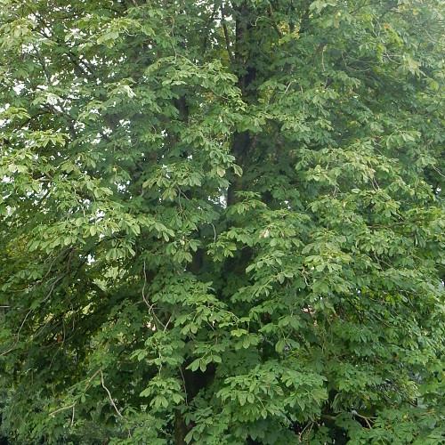 Chioma di albero, foglie in salute